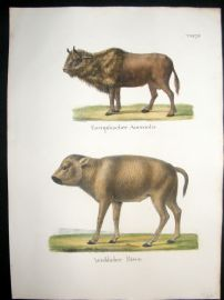 Schinz 1845 Antique Hand Col Print. Aurochs, Bison. Cattle 75